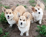 Misty Ridge Pembroke Welsh Corgis - dogs, pets, puppies, corgi, champion, animal, pedigree, kennel, breeder, champion